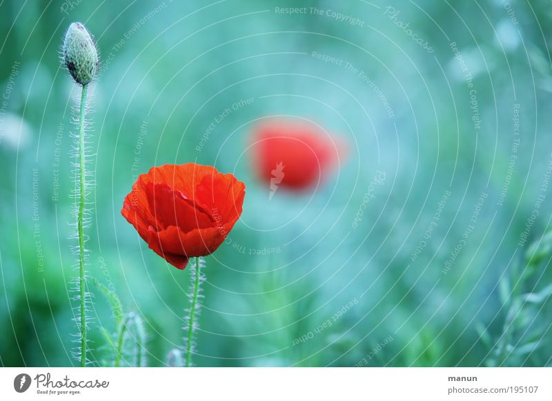 Nature Red Summer Flower Calm Relaxation Blossom Bright Design Esthetic Romance Exceptional Blossoming Poppy Turquoise Jubilee