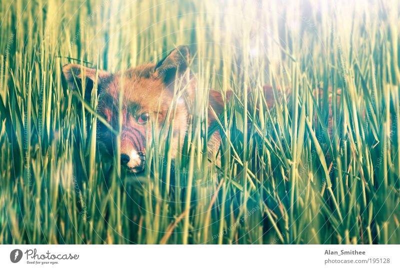 creep path Nature Animal Grass Field Wild animal Pelt Fox 1 Observe Hunting Curiosity Green Wisdom Smart Timidity Hide Astute Sunlight Eyes Colour photo Looking
