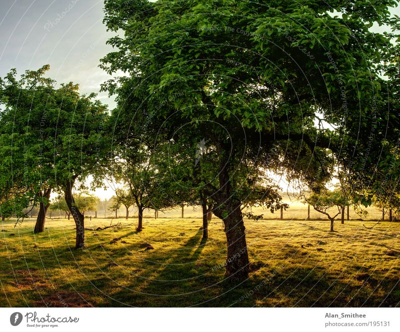 old orchard Nature Landscape Tree Garden Yellow Green Fruit garden Apple tree Fruit trees Fuit growing Dawn HDR Back-light Shadow Morning Summer Colour photo