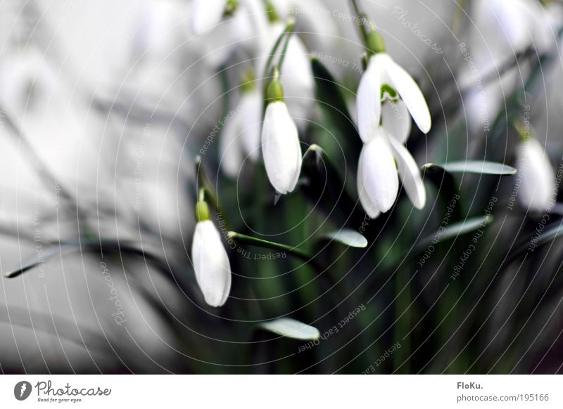 Snowdrops II Environment Nature Plant Spring Flower Leaf Blossom Esthetic Beautiful Cold Natural Gray Green White Spring fever Anticipation Spring flower