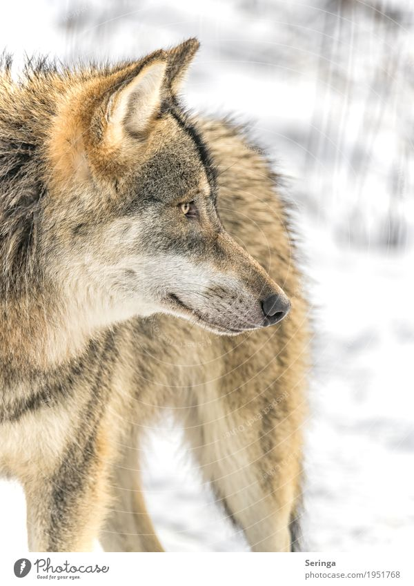 Nature Dog Plant Animal Winter Forest Autumn Wild animal Pelt Hunting Animal face Zoo To feed Pack Wolf Land-based carnivore