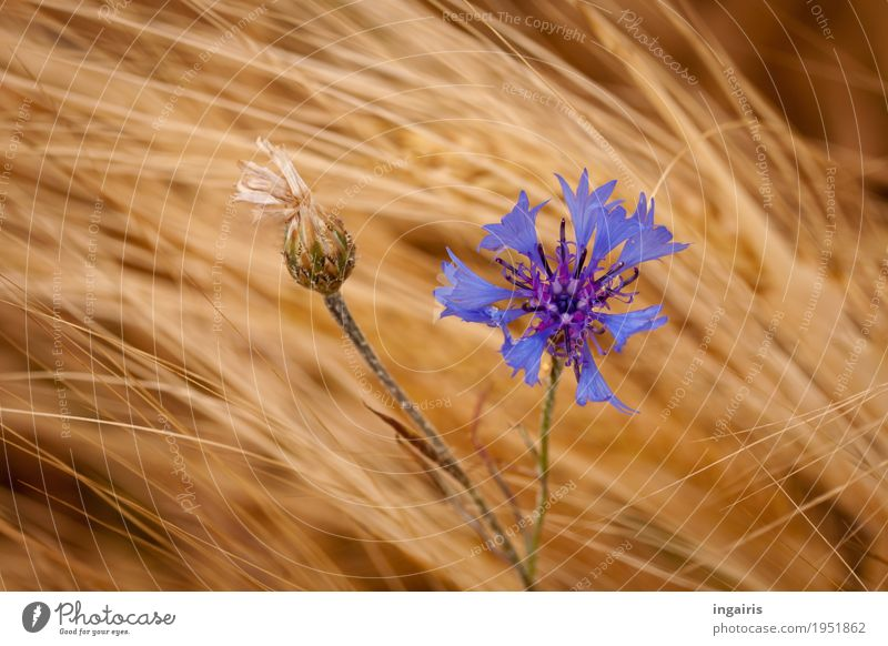 blue Nature Landscape Plant Wind Flower Agricultural crop Grain Grain field Cornflower Field Movement Stand Faded Growth Natural Blue Yellow Gold Violet Life