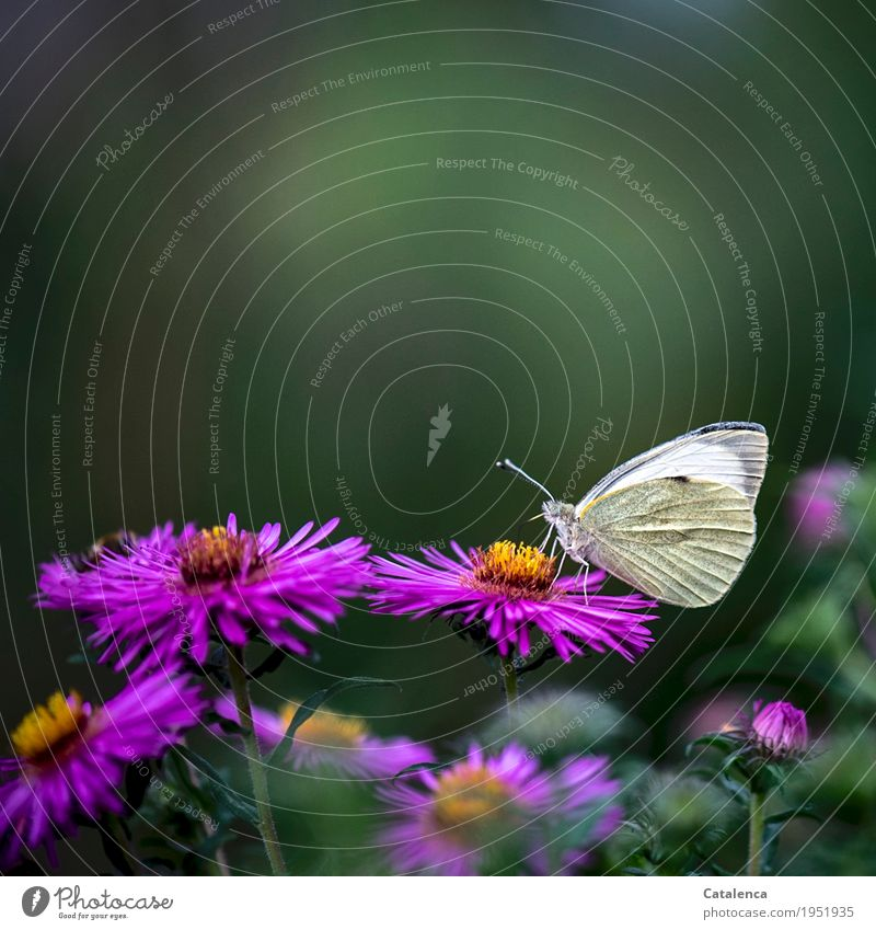 breakfast Nature Plant Animal Summer Flower Blossom Aster Garden Flowerbed Butterfly Cabbage white butterfly 1 Fragrance Flying To feed Esthetic Beautiful Gray