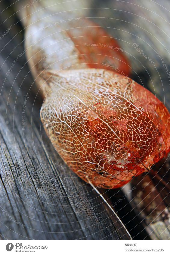 physalis Fruit Environment Nature Summer Autumn Plant Tree Garden Park Wood Old Dry Physalis Mesh grid Net Vessel Colour photo Subdued colour Exterior shot