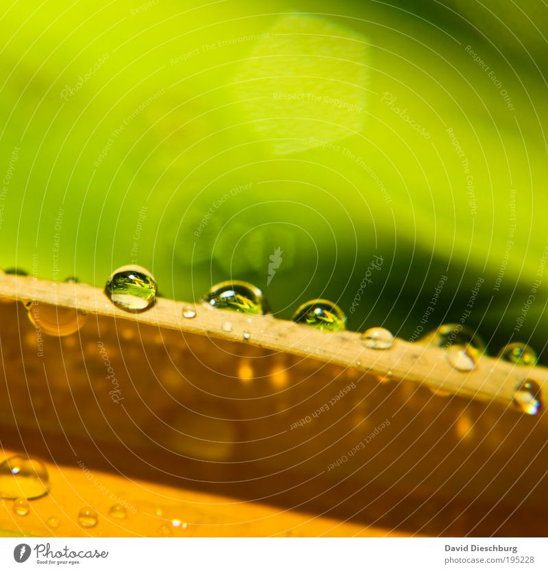Morning dew in spring Elegant Life Nature Plant Drops of water Spring Summer Rain Leaf Yellow Green Dew Glittering Fresh Wet Damp Round Colour photo Close-up