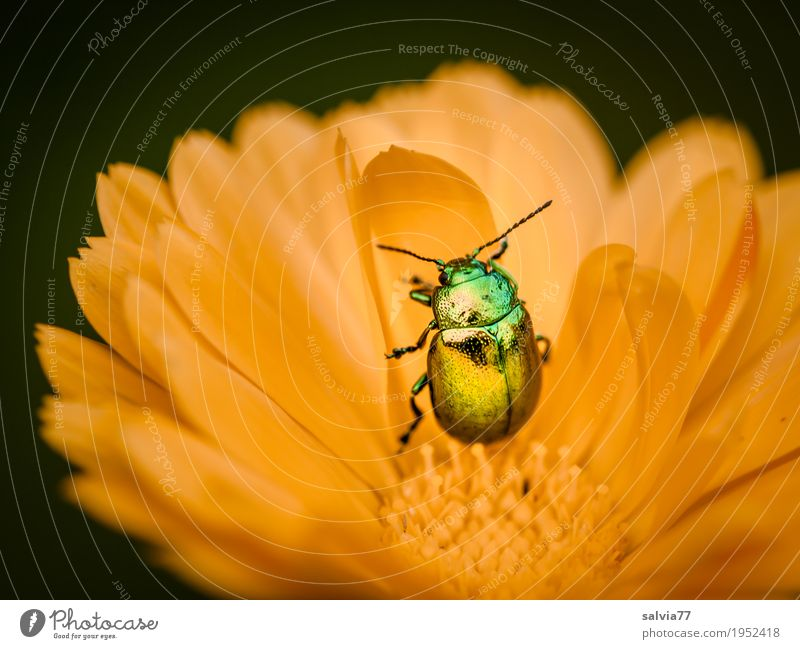 golden Environment Nature Plant Animal Summer Flower Blossom Agricultural crop Marigold Garden Beetle Insect 1 Blossoming Fragrance Crawl Esthetic Glittering