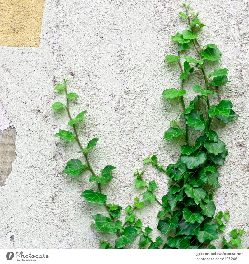Nature is back Plant Bushes Ivy Leaf Foliage plant Wild plant Ruin Wall (barrier) Wall (building) Colour photo Subdued colour Exterior shot Deserted