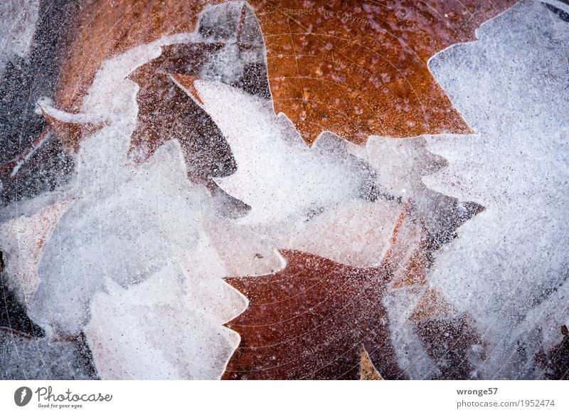 Nature White Leaf Winter Cold Gray Lake Brown Ice Frost Clarity Frozen Transparent Pond Prongs Landscape format