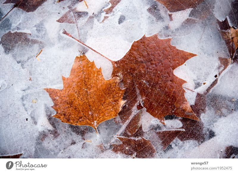 Nature White Leaf Winter Cold Gray Lake Brown Ice Frost Clarity Frozen Transparent Pond Vista Prongs
