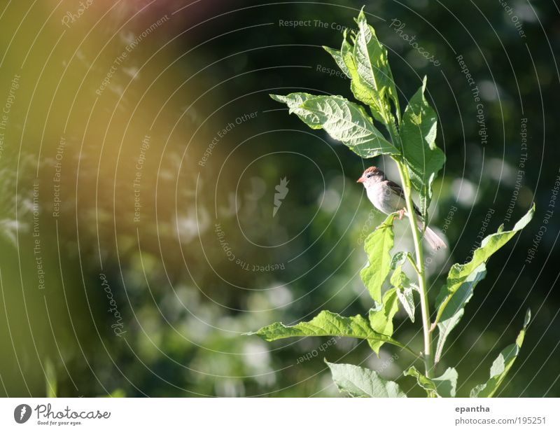 Field Sparrow Environment Nature Plant Animal Bushes Leaf Foliage plant Wild plant Meadow Wild animal Bird 1 Observe Looking Natural Curiosity Cute Brown Gold