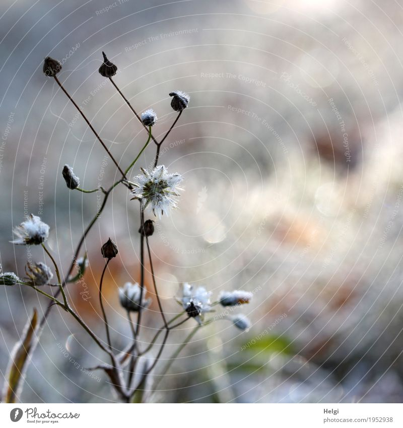 ice flowers Environment Nature Plant Winter Ice Frost Flower Seed Stalk Meadow Freeze Glittering Stand To dry up Simple Uniqueness Cold Natural Brown Gray