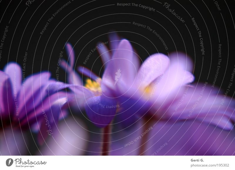 turbo spring Anemone Flower Blossom Spring Balcony plant Wind Motion blur Violet Spring flowering plant Movement Turbulence Muddled Chaos Wild Stalk