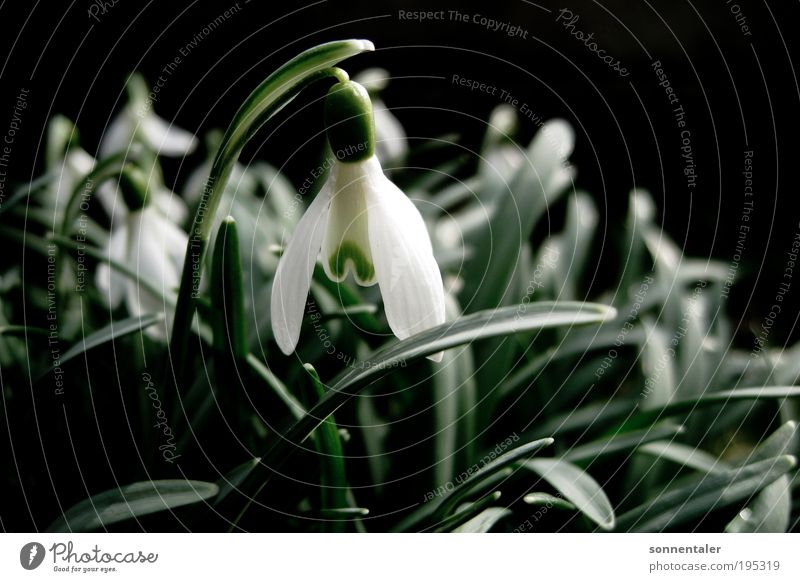 "white virgin Nature Plant Spring Beautiful weather Flower Leaf Blossom Park Meadow Blossoming Growth Fresh Bright Near Green White Spring fever ""snow Snowdrop"