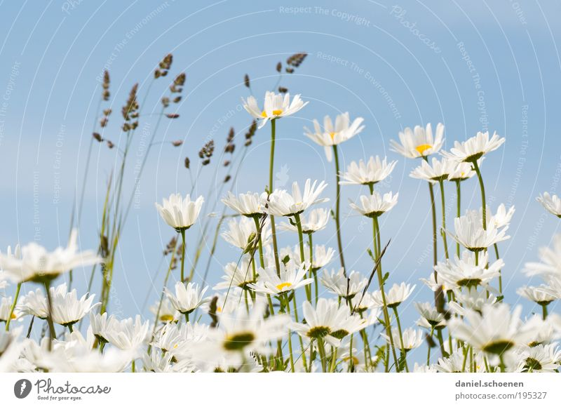 when summer is not far away Nature Plant Spring Summer Weather Beautiful weather Flower Leaf Blossom Bright Blue White Grass Flower meadow Marguerite