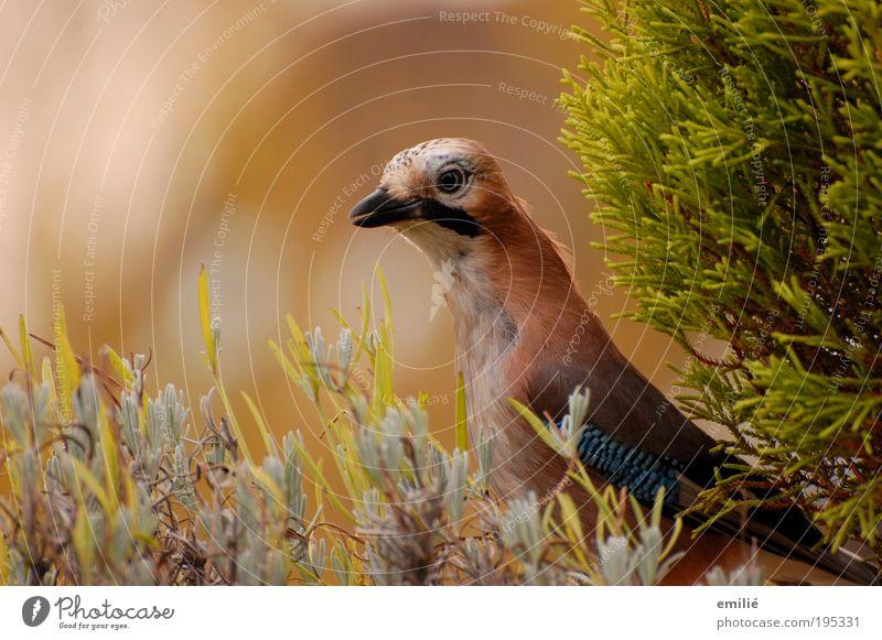 blueEye Animal Wild animal Bird Animal face Jay Feather Observe To enjoy Authentic Elegant Brash Free Infinity Astute Near Natural Curiosity Smart Speed