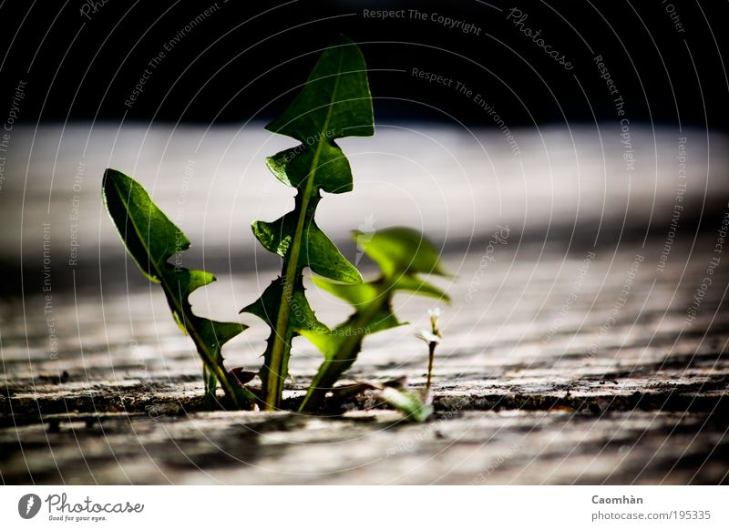 Make way, I'm coming! Environment Nature Plant Spring Leaf Foliage plant Wild plant Might Brave Truth Colour photo Exterior shot Close-up Detail