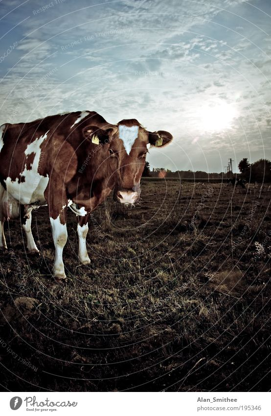 Nature Sun Animal Meadow Grass Brown Field Stand Observe Farm Idyll Cow Pasture Beautiful weather To feed Cattle