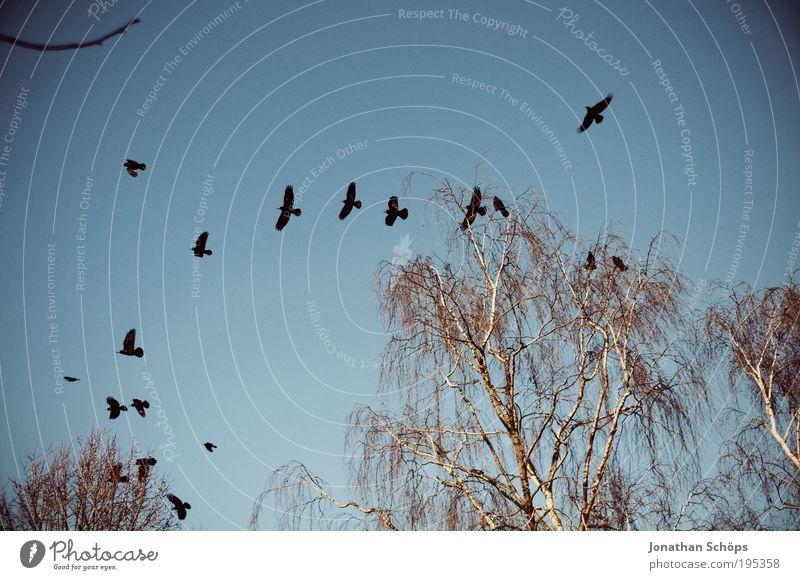 air force Environment Nature Sky Cloudless sky Beautiful weather Tree Animal Bird Group of animals Flock Flying Blue Brown Black Surprise Raven birds Wing