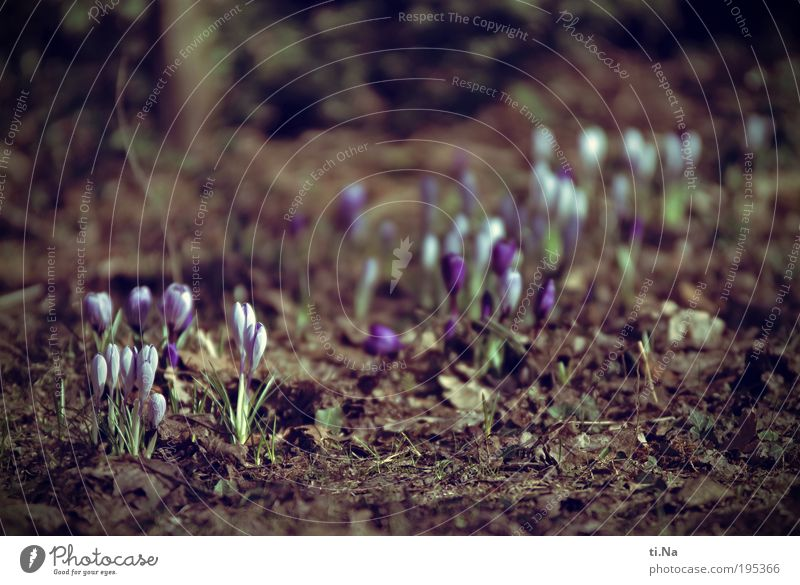 my first crocus picture Environment Nature Landscape Animal Earth Spring Climate Beautiful weather Plant Flower Crocus Garden Blossoming Growth Natural Original