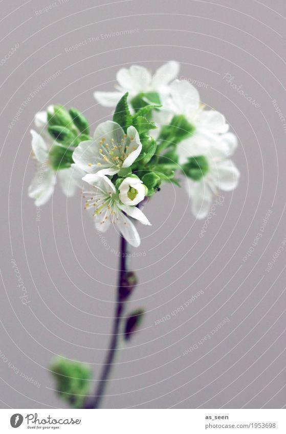 tree blossom Design Life Harmonious Living or residing Decoration Easter Nature Spring Plant Tree Branch Twig Cherry blossom Blossom Leaf Stamen Garden