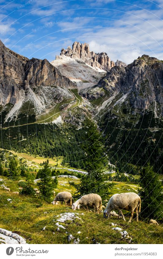 Sheep grazing in the Dolomites Downward Half-profile Full-length Animal portrait Wide angle Sunlight Deep depth of field Central perspective Long shot