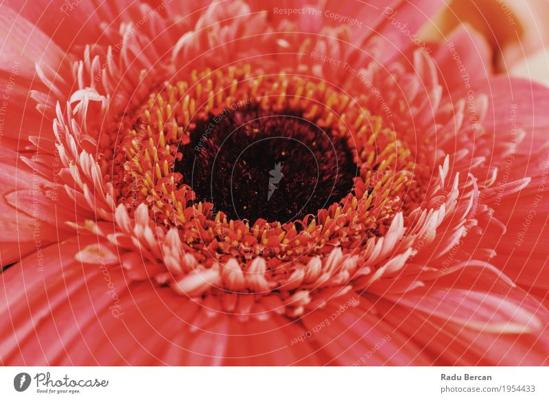 Pink Gerbera Flower Petals Abstract Macro Garden Environment Nature Plant Spring Summer Blossom Blossoming Elegant Fresh Bright Beautiful Natural Round Feminine