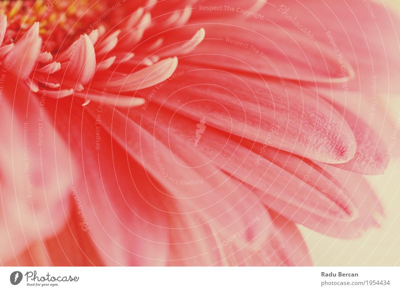 Pink Gerbera Flower Petals Abstract Macro Environment Nature Plant Spring Summer Blossom Garden Blossoming Love Simple Fresh Bright Beautiful Natural Retro