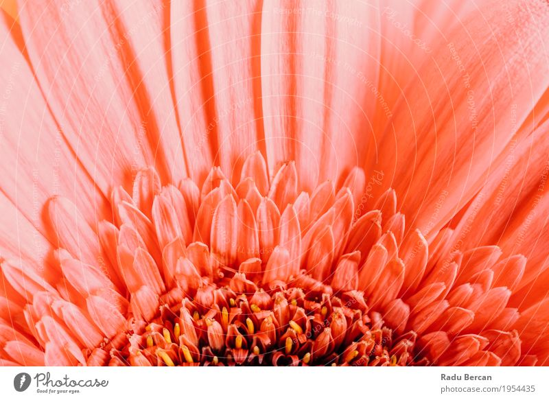 Pink Gerbera Flower Petals Abstract Macro Decoration Environment Nature Plant Spring Summer Blossom Blossoming Love Simple Fresh Beautiful Natural Round