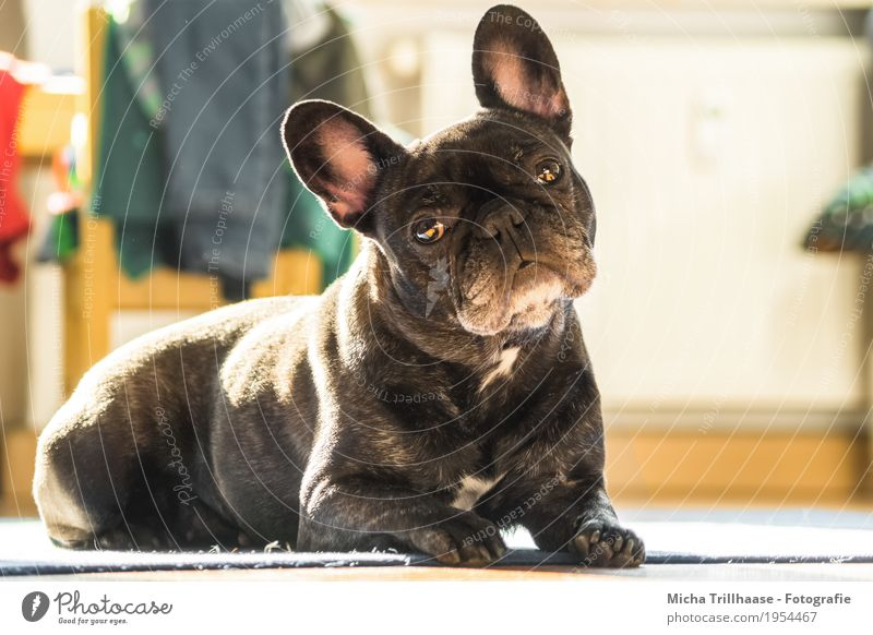 doggie eyes Living or residing Flat (apartment) Chair Children's room Clothing Jeans Sweater Animal Pet Dog Animal face Pelt Claw Paw French Bulldog 1 Observe