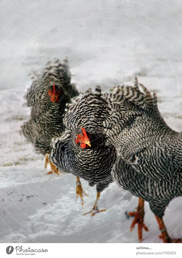 chickens in the snow Snow Closing time Winter Barn fowl 3 Animal Movement Team Target Single-minded March Cattle breeding Poultry Wyandotte Colour photo