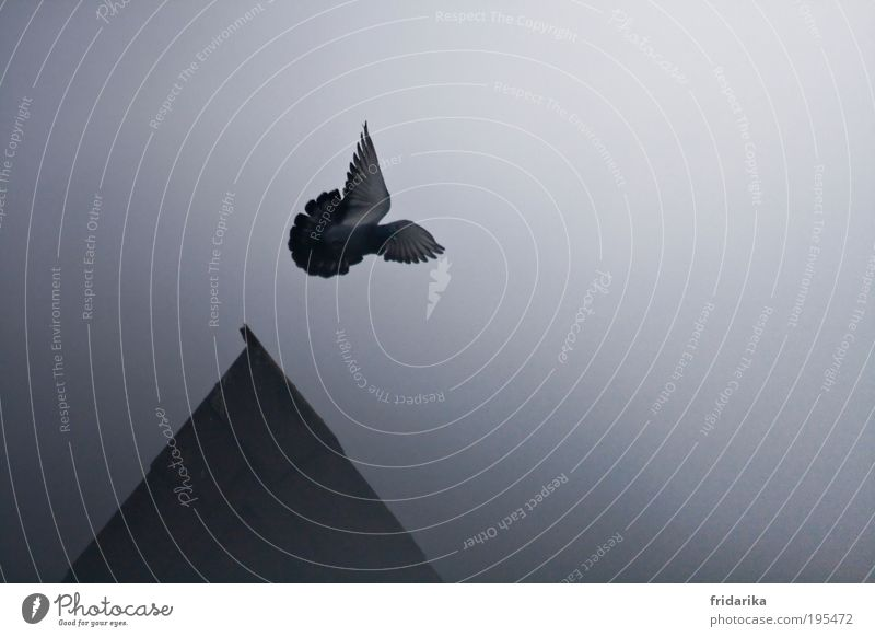 fly away with me Far-off places Freedom Sky Night sky Fog House (Residential Structure) Roof Pointed roof Animal Bird Pigeon Wing Feather 1 Flying Jump Dream