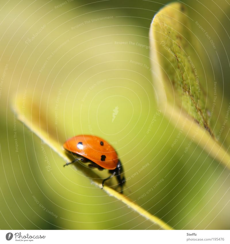 tightrope walk Happy Nature Summer Leaf Quince leaf Animal Beetle Ladybird Insect Going Crawl Hiking Red Colour Contentment Polka dot Point