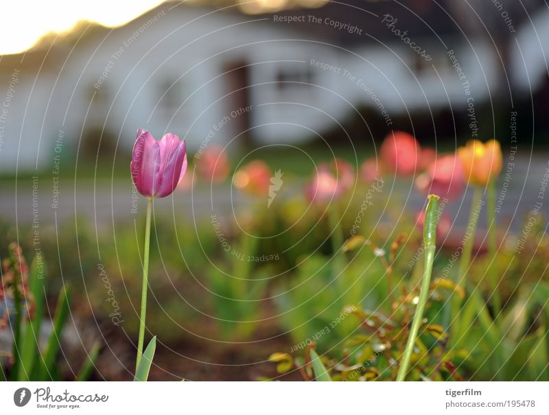 tulips at sunset Tulip Sunset Light Lamp Purple Violet Plant Flower Spring House (Residential Structure) White Street Sweet Blur Abstract Depth of field Shallow