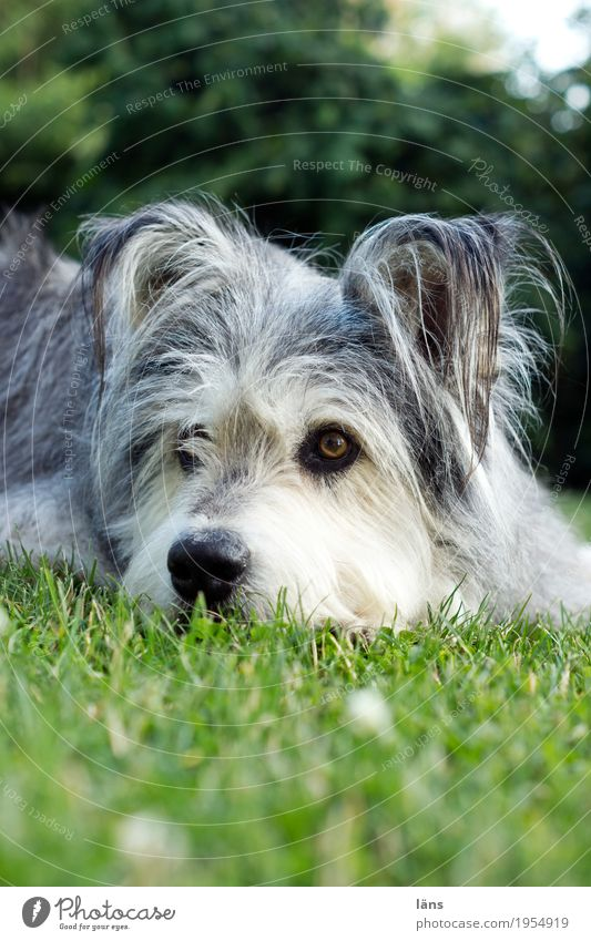 readiness Environment Nature Grass Garden Park Meadow Animal Pet Dog Animal face 1 Relaxation To enjoy Lie Looking Dream Sadness Safety (feeling of) Curiosity