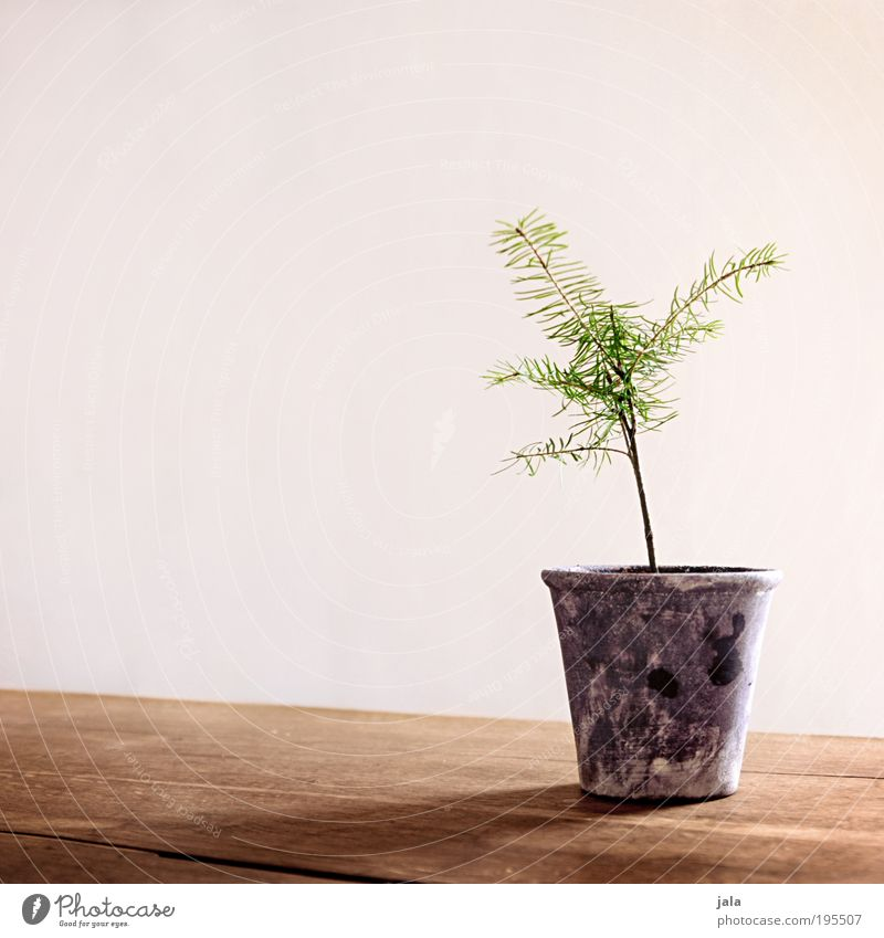 Tree Plant Spring Table Furniture Flowerpot Pine Coniferous trees Pot plant