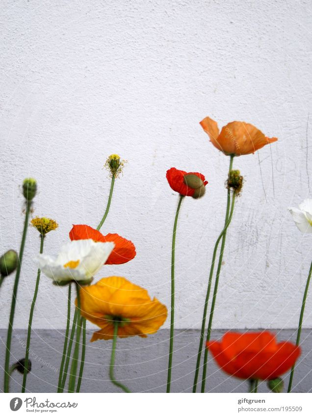 White Flower Plant Red Yellow Wall (building) Blossom Spring Gray Wall (barrier) Dirty Happiness Growth Multiple Authentic Simple