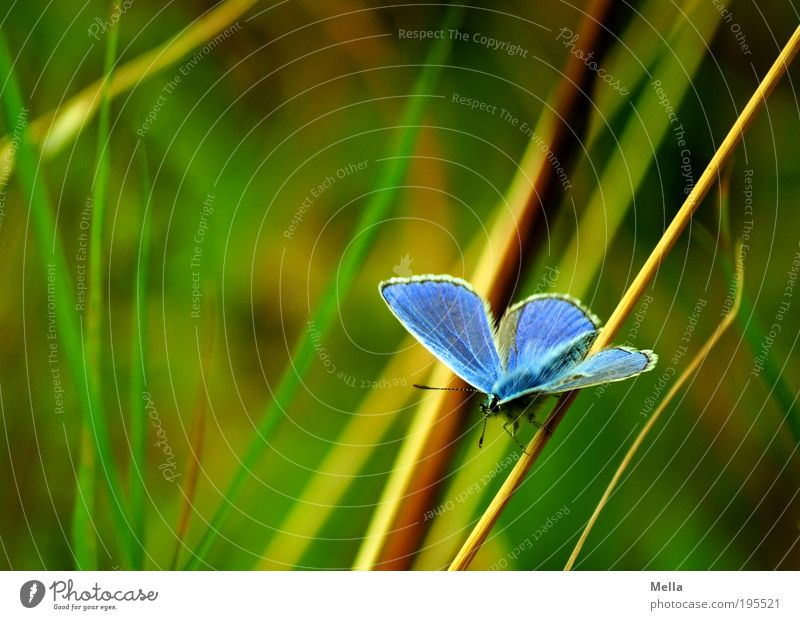 blueish Environment Nature Plant Animal Summer Grass Meadow Wild animal Butterfly Polyommatinae 1 Crouch Sit Free Beautiful Natural Blue Green Freedom Idyll