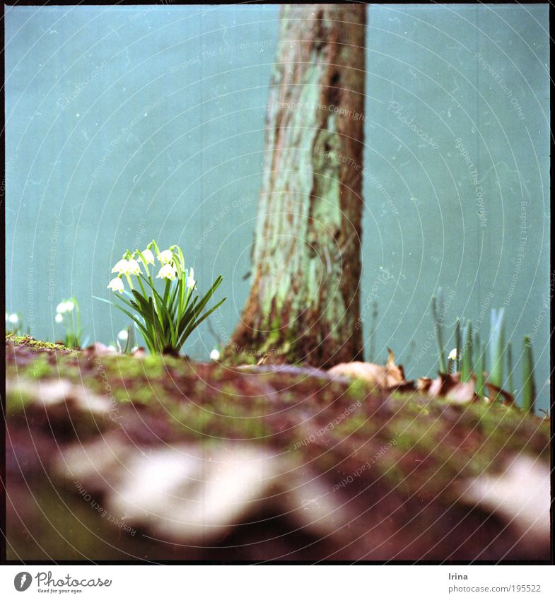 White Green Tree Flower Leaf Blossom Brown Retro Analog Medium format Bochum Scan North Rhine-Westphalia Cypress The Ruhr Fluff