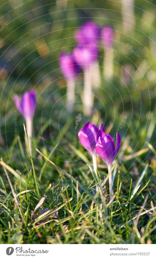 group formation Nature Plant Earth Sun Sunlight Spring Summer Flower Leaf Blossom Crocus Park Meadow Rhein meadows Duesseldorf Outskirts Blossoming Happiness