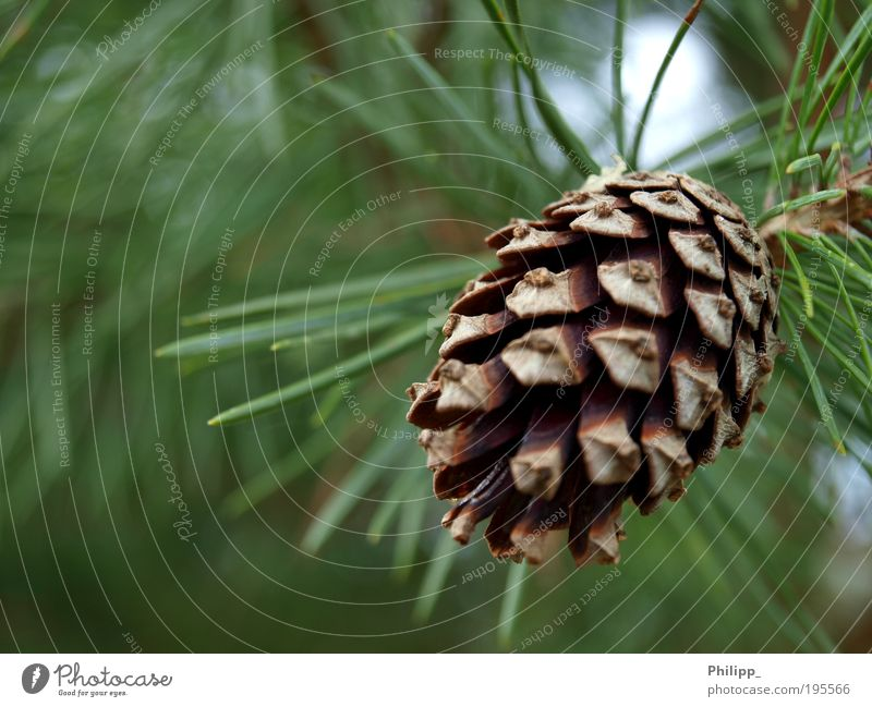 Nature Green Tree Plant Environment Spring Brown Point Fir tree Foliage plant Tolerant Coniferous trees Fir needle Fir cone Fruit Judicious
