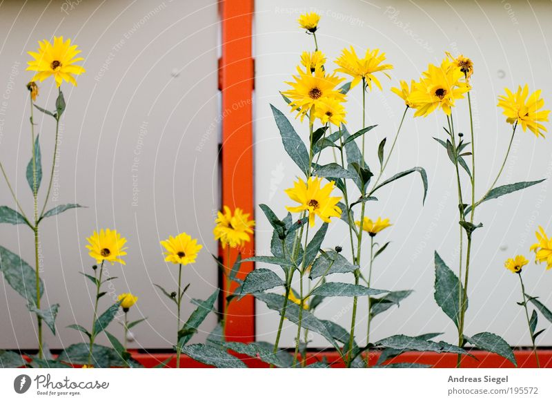 urban painting Environment Nature Spring Plant Flower Leaf Blossom Foliage plant Garden Balcony Line Colour Esthetic Beautiful Yellow Green Orange Blossoming