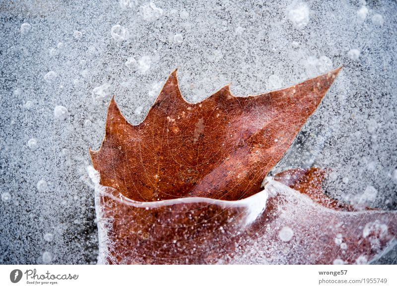 Included II Nature Winter Ice Frost Leaf Pond Lake Cold Brown Gray White Prongs Colour photo Subdued colour Exterior shot Close-up Detail