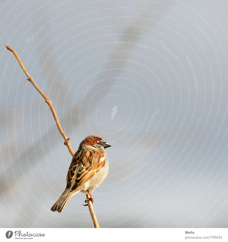 Winter Sparrow Environment Nature Animal Plant Bushes Branch Wild animal Bird 1 To hold on Crouch Sit Free Small Natural Cute Freedom Colour photo Exterior shot