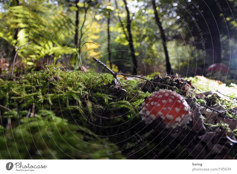 standard mushroom Witch Environment Nature Plant Beautiful weather Tree Grass Bushes Moss Fern Wild plant Mushroom Forest Beetle Spider Snail Worm Select Growth