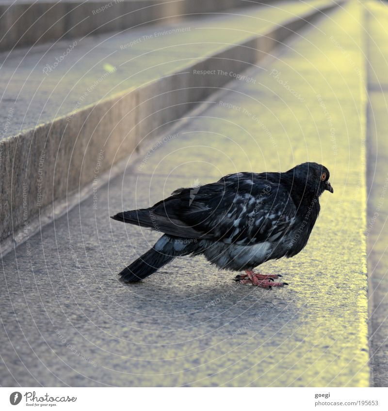 Black Animal Yellow Gray Bird Sit Stairs Stand Wing Pigeon Gaze