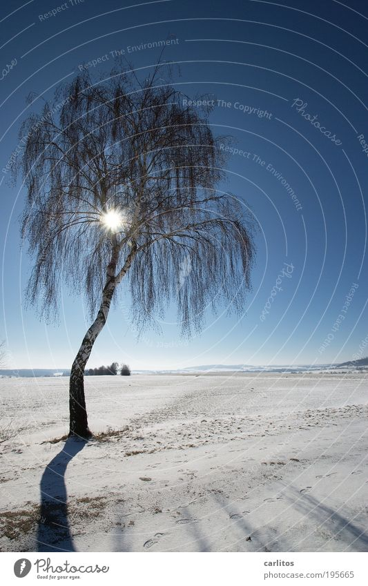 palm beach Landscape Sky Sun Winter Climate Beautiful weather Ice Frost Snow Tree Birch tree Field Glittering Bright Cold Blue White Dazzle Grief Droop