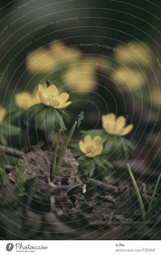 Winter(sch)linge(l) Environment Nature Landscape Animal Spring Plant Flower Leaf Blossom Wild plant Eranthis hyemalis Park Meadow Blossoming Growth Beautiful