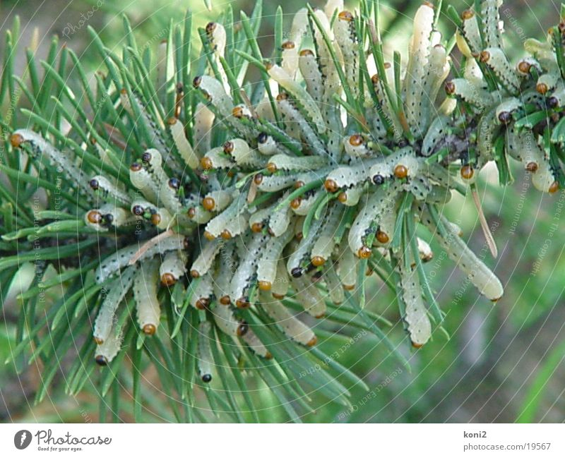 neodiprion sertiferous Larva To feed pine horn wasp Pests Caterpillar