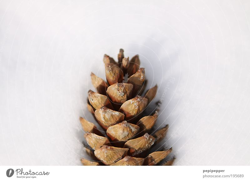 Plant Winter Snow Movement Park Ice Contentment Brown Frost Fragrance Precipitation Nature Fir cone