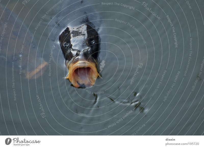 Bigmouth (Cyprinus carpio) Fishing (Angle) Environment Nature Animal Water Pond Lake Carp Fin Scales Muzzle Head 2 Threat Wet Natural Avaricious To feed Emerge